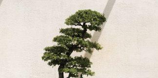 Ile kosztuje drzewko szczęścia?