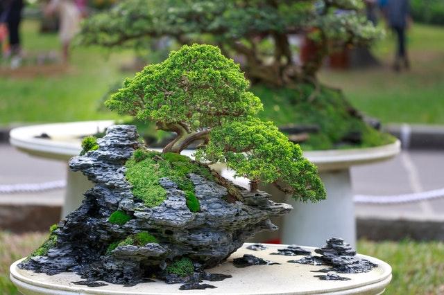 Bonsai drzewko szczęścia