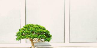Bonsai: gdzie kupić w Warszawie takie drzewko?